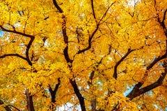 与明亮的黄色叶子的秋天树 免版税图库摄影