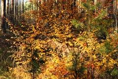 与明亮的黄色叶子的秋天灌木 库存图片