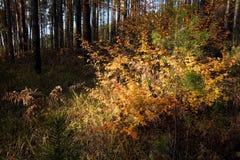 与明亮的黄色叶子的秋天灌木 图库摄影