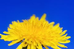 与明亮的黄色春天晴朗的花蒲公英特写镜头蜂蜜隐蔽的花粉的自然本底在一春天清楚的好日子增长 免版税库存图片