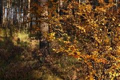 与明亮的黄色的秋天灌木在杉木森林离开在sunn 免版税库存图片