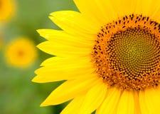 与明亮的黄色的美丽的向日葵 库存图片