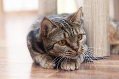 与明亮的黄色眼睛偷看的英国短发品种猫从椅子的后面,寻找某事 Tebby颜色,户内 剪切 免版税库存照片