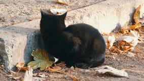 与明亮的黄色眼睛的严厉的恶意嘘声坐下落的秋叶围拢的街道 影视素材