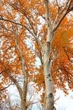 与明亮的黄色叶子的两棵树 免版税库存照片