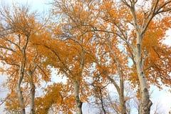 与明亮的黄色叶子的树 图库摄影