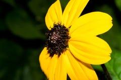 与明亮的黄色瓣的一朵花和黑褐色集中 宏指令 库存图片