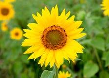 与明亮的黄色的美丽的向日葵 免版税库存照片