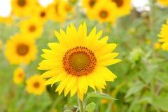 与明亮的黄色的美丽的向日葵 库存照片