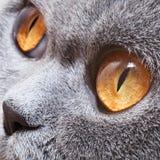与明亮的黄色眼睛的滑稽的灰色英国猫 免版税库存图片