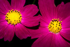 与明亮的紫色长的瓣和一个黄色核心的两朵花 项目符号 宏指令 库存照片