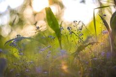 与春天的抽象明亮的被弄脏的与小蓝色花和植物的背景和夏天 美好的bokeh在阳光下 免版税库存图片