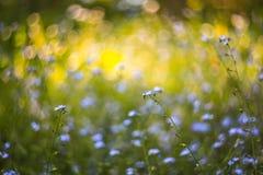 与春天的抽象明亮的被弄脏的与小蓝色花和植物的背景和夏天 美好的bokeh在阳光下 库存图片