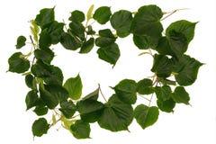与春天的框架有菩提树树叶子的 库存照片