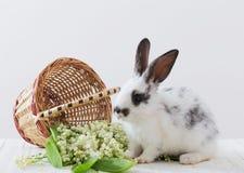 与春天花的兔子在白色背景 免版税库存图片