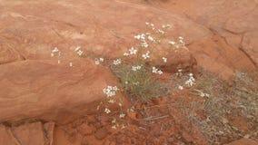 与春天花的红色岩石 库存图片