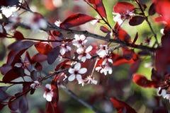 与春天颜色的红色樱桃树 免版税库存图片