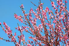 与春天绽放的分支 免版税库存图片