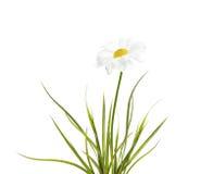 与绿草的春黄菊 库存照片