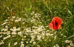 与春白菊的红色鸦片在草甸 免版税库存图片