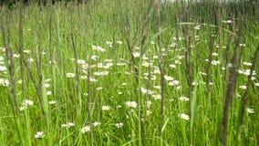 与春黄菊的领域 影视素材
