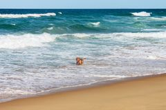 与显示在海浪的舌头hangingn的大狗在与波浪的海滩附近与滚动从天际的whitecaps 免版税图库摄影