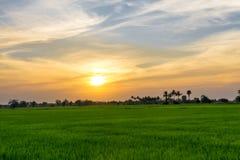 与晚上光的米领域 免版税库存图片