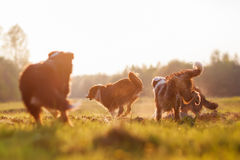 与晚上太阳的四只连续澳大利亚牧羊犬 库存图片