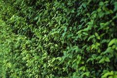 与景深的绿色叶子墙壁背景,在cen的焦点 库存图片