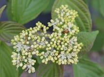 与暗藏的甲虫的八仙花属 免版税库存图片