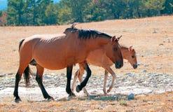 与暗褐色母马母亲的暗褐色驹怀俄明的普莱尔山的赛克斯的里奇 库存图片
