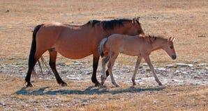 与暗褐色母马母亲的暗褐色驹蒙大拿的普莱尔山的赛克斯的里奇 库存照片