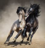 与暗褐色西班牙公马的红灰色西班牙公马戏剧 免版税库存照片
