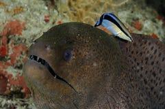 与更加干净的濑鱼Labroides dimidiatus的巨型海鳗Gymnothorax javanicus 免版税图库摄影