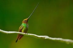 与最长的额嘴的鸟 剑开帐单的蜂鸟, Ensifera ensifera,与难以相信的最长的票据,自然森林栖所, E的鸟 图库摄影