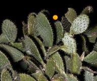 与月亮的一棵仙人掌树在夜之前 免版税图库摄影