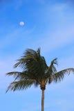 与月亮的棕榈树 库存图片
