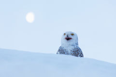 与月亮的猫头鹰 斯诺伊猫头鹰, Nyctea scandiaca,稀有人物坐雪,与雪花的冬天场面在风,清早sce 图库摄影