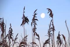 与月亮的高杂草在背景中 库存照片