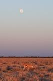与月亮的Springbock 库存照片