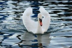 与有一点开放翼的疣鼻天鹅 免版税图库摄影