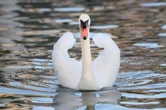 与有一点开放翼的疣鼻天鹅 免版税库存图片