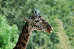 与有一点开放他的嘴的长颈鹿 免版税库存照片