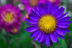 与有一点花粉的叶子的一朵明亮的紫色花和与一个计算的雄芯花蕊的黄色中部,在背景中是 免版税图库摄影