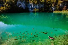 与有些树和鱼-普利特维采湖群国家公园- Plitvice Jezara,克罗地亚的水晶水 免版税图库摄影