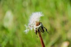 与有些种子的过分的蒲公英 库存照片