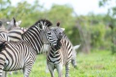 与有些长颈鹿的斑马的 库存图片