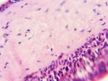 与有核的纤毛的有睫毛皮膜400x细胞 免版税库存图片