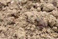 与有疣,干性皮肤的小棕色共同的蟾蜍 库存图片