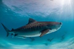 与朋友的一条虎鲨 图库摄影